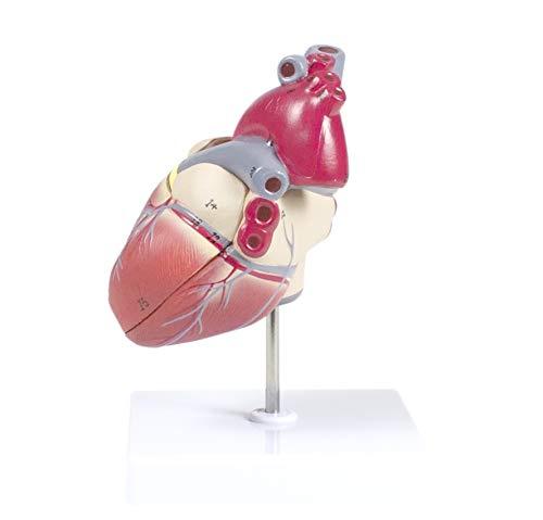 Buy medical model heart