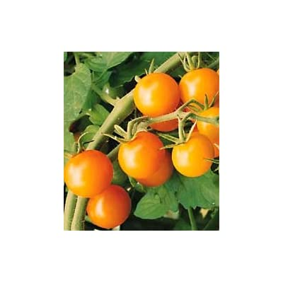 Warren's Yellow Cherry Tomato 90 Seeds - GARDEN FRESH! : Vegetable Plants : Garden & Outdoor