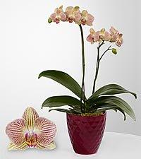Hopeful Tomorrows Phalaenopsis Orchid Grenville Station