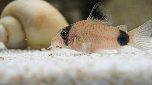 Siam Live Aquarium 1 Beautiful Panda Cory CORYDORAS Catfish Moss Java Shrimp Guppy
