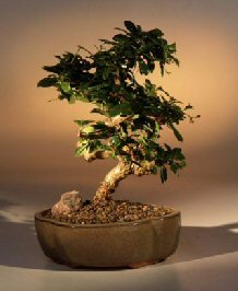 Bonsai Boy's Flowering Fukien Tea Bonsai Tree - Medium Curved Trunk Style ehretia microphylla by Bonsai Boy