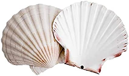 Scallop Shells - Juego de 6 conchas extragrandes de 10 a 13 cm