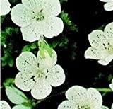 Nemophila - Freckles (Snowstorm) - 150 Seeds