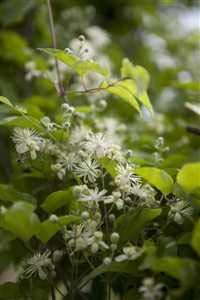 Clematis vitalba Waldrebe Kletterpflanze im Topf gewachsen 40-60cm