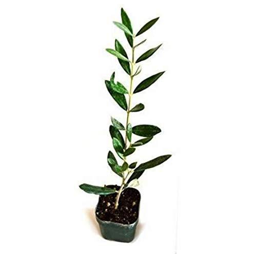 HZI 4 Pound (Pack of 6) Plant Tree of Peace Olive Tree-Olea Europaea - RK157