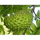 SOURSOP / Guanabana / Graviola / Annona muricata 3 SEEDS