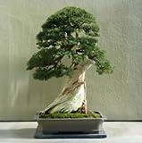 15 Seeds Utah Juniper Bonsai Tree (Juniperus osteosperma)