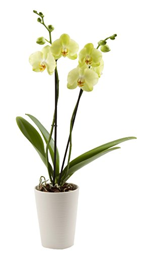 Color Orchids Live Blooming Double Stem Phalaenopsis Orchid Plant in Ceramic Pot, 20''-24'' Tall, Yellow Blooms by Color Orchids