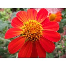 Torch Mexican Sunflower - New Tithonia Rotundifolia ' Torch ' - Sunflower , MEXICAN SUNFLOWER ' Torch ' , 150 + Seeds !