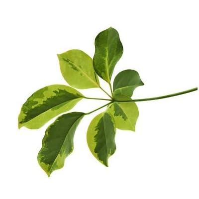 Cheap Fresh Schefflera Arboricola Exotic Tropical Seeds Get 5 Seeds Easy Grow #GRG01YN : Garden & Outdoor