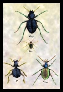 Java France Cape (Beetles of Java, France, Cape and Europe #1 Paper poster printed on 12 x 18 stock.)