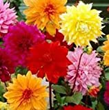 (5) Beautiful Flowering Blooms Dahlia Decorative Mix Bulb/rhizome/root/plant Perennial