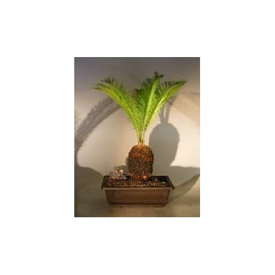 Sago Palm Bonsai Tree (cycas revoluta): Garden & Outdoor