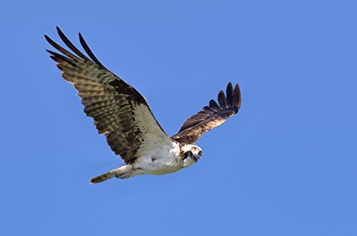 Flying Hawk Bird