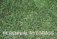 Perennial Ryegrass (indy) 5 Lb