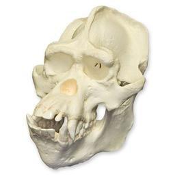 Bornean Orangutan Skull (Male) (Teaching Quality Replica) (Replica Skull Ape)