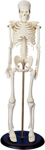My First Skeleton (Tiny Tim) 16 1/2 Plastic Model by Anatomical Chart Company