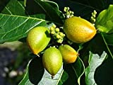 10 Seeds Bunchosia hookeriana Nechifuca Ornamental Fruit Shrub