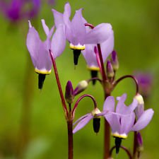 (25+ Purple Dodecatheon Meadia Shooting Star Flower Seeds / Perennial)