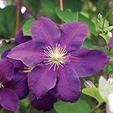 1 Clematis Jackmanii Purple Color Vine Plant Root Bulb Flower Perennial Summer