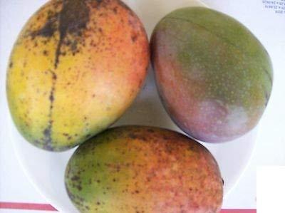 1 Mango Tree Sweet Mango Florida 5 Tropical Mango Plants Mango Fruit 5 Varieties Sweet Fruit Fresh