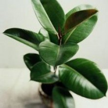 Plantsguru Ficus Elastica Baby Rubber Plant Indoor Bonsai Plants at amazon