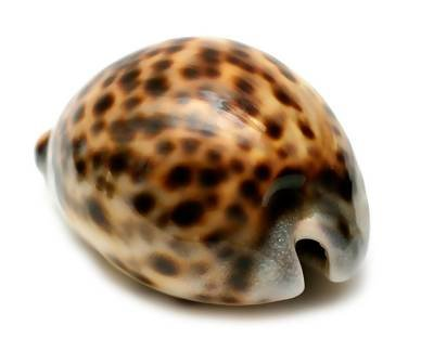 Tiger Cowrie Shells - 9