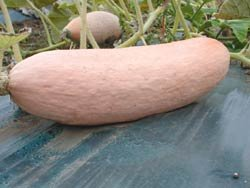 Premier Seeds Direct SQU11 Squash Jumbo Pink Banan Seeds (Pack of 25)