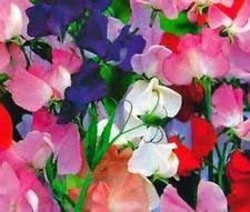 Fash Lady Royal Family Sweet Pea Vine - 10 Seeds BEAUTIFUL BRIGHT COLOR MIX COMB S/H