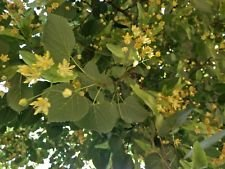 American Linden, Basswood Tree (Tilia americana), 8 seeds