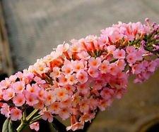 Flutterby Grande Peach Cobbler Butterfly Bush - Live Plant - Trade Gallon Pot -