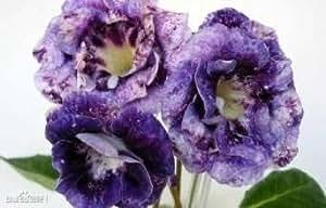 PlenTree 12: 20 Semillas/Semillas Paquete Decoración de flores Gloxinia Brocade (mezcla) de la semilla