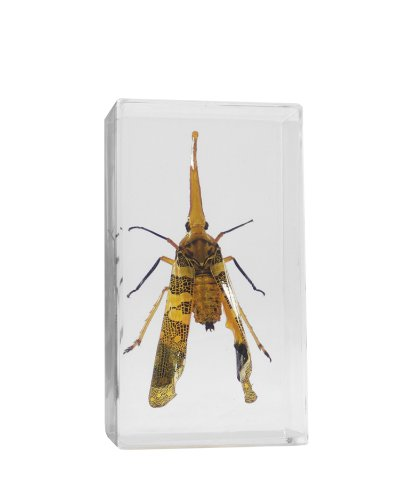 Real Bugs Lantern Bug in Resin