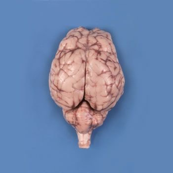 North Carolina Optic - Carolina's Perfect Solution Sheep Brain, Dura Mater Removed, Optic Chiasma Intact, Plain, Pail