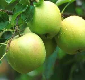Crisp Tart Apples - (5 Gallon Bare-Root) MUTSU Apple Tree, Crisp and Juicy with an Alluring hint of Tartness, The Mutsu Apple has a Unique Exotic Flare, Large Greenish Yellow, with a Sweet Tart Flavor.