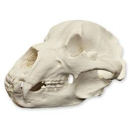 Kodiak Grizzly Bear Skull (Teaching Quality Replica) (Grizzly Bear Skull)