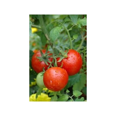 50 seeds of Tomato Patio F Hybrid Tomato Seeds : Garden & Outdoor