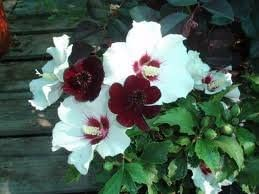 15 Red Heart Rose Of Sharon Seeds Flowering Plants Amazoncom