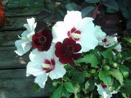 Amazoncom 15 Red Heart Rose Of Sharon Seeds Flowering Plants