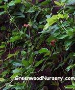 Bignonia Tangerine Beauty Flowering Vine by Bignonia Tangerine Beauty at Greenwood Nursery