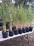"Lemongrass 5 Live Plants Each 8-12"" Tall fully rooted"