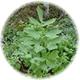 Lovage Root Capsules