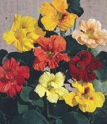 10 Seeds of Glorius Gleam Mix Nasturtium 1A074 ()