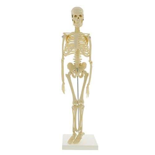 "MonMed Medical Skeleton Model, Small Skeleton Model – Human Skeleton Model for Anatomy Art Halloween Decor – 17"" Inch"