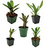 Bromeliad Bundle (5 Plants)