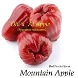 RED Mountain Apple Fruit Tree Syzygium malaccense Ohi'a Ai Apple LIVE sml Plant