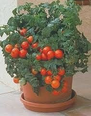 d Great Garden Vegetable 10 Seeds (Patio Hybrid Tomato)