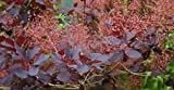 "'Royal Purple' Smoke Bush - Cotinus - Flowering Shrub - 4"" Pot"
