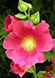 25 Seeds Hollyhock Flowering Plant (Alcea rosea)