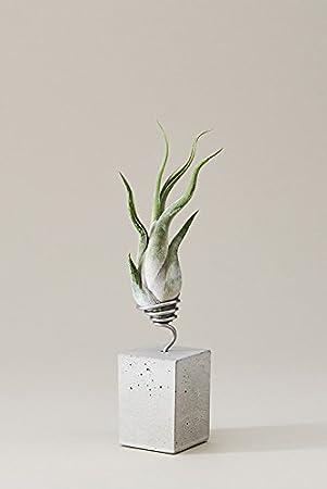 Tillandsien Luftpflanzen Terrarium pflegen Tipps